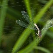 gefangen im Spinnennetz, sie wurde allerdings von uns gerettet