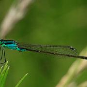 ein erwachsenes Männchen in typischer Farbgebung