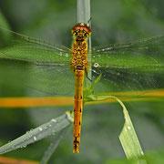 die weibliche Sumpf-Heidelibelle erstrahlt dagegen in einem hellen Gelb