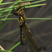 ein bereits ausgefärbtes Weibchen hängt noch an der Exuvie; die Witterung war zu kühl, so dass sie ihren Jungfernflug noch nicht antreten konnte.