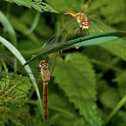 zwei Weibchen