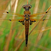 weibliche Vierfleck-Libelle forma praenubila