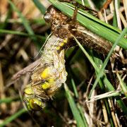 Der fortgeschrittene Schlupf eines Weibchens, bald wird sie sich aufrichten.