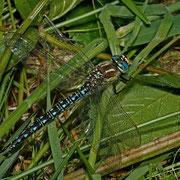 ein Männchen im Gras ruhend