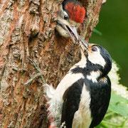 Buntspecht - Weibchen