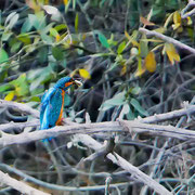 An einem Nebenarm der Schussen, die in einem Naturschutzgebiet in den Bodensee mündet, konnte ich den Eisvogel an mehreren Stellen, wenn auch aus einiger Entfernung, fotografieren.
