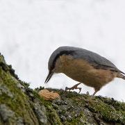 Das Männchen zerhackt eine Erdnuss ...