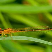 weibliche Kleine Pechlibelle