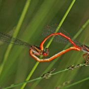Paarungsrad mit Weibchen Forma erythrogastrum
