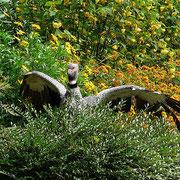 Halsbandwehrvogel - er war ausgerissen