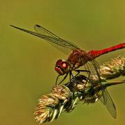 männliche Blutrote Heidelibelle