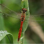 männliche Sumpf-Heidelibelle in ihrer strahlend roten Farbe