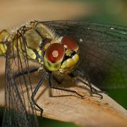 weibliche Blutrote Heidelibelle
