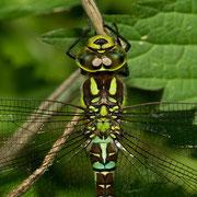 Thorax der weiblichen Blaugrünen Mosaikjungfer