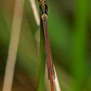 ein sehr junges Weibchen der seltenen Forma erythrogastrum