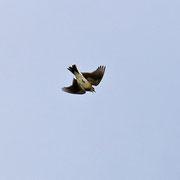 Sinkflug der Feldlerche