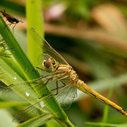 männliche Frühe Heidelibelle - eine Erstentdeckung an dortigem Ort