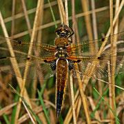 """ein weiblicher Vierfleck - die rauchigen Flügelenden sind eine seltene Variante, die von den Wissenschaftlern als forma """"praenubilia"""" bezeichnet wird."""
