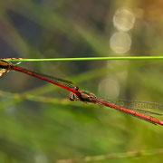 Tandem mit Weibchen Forma erythrogastrum