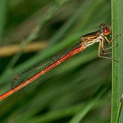 ein Weibchen der seltenen Forma erythrogastrum