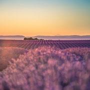 Banque image Provence - Lavande - Valensole