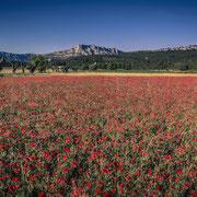 Banque image Provence - coquelicot - Sainte victoire - Aix en provence