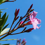 Wunderschöner Oleander