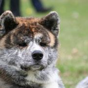 Enjuku of Itoko-Ken (Katsu x Unsha), Rüde; HD-A1, Augenuntersuchung ohne Befund, ZZL