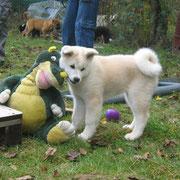 Keko (Daikeko) in der Welpenspielstunde