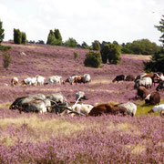 Heidschnuckenherde in blühender Heide bei Niederhaverbeck