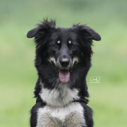 portret van border collie