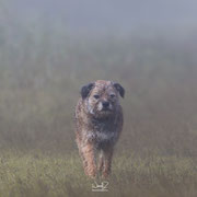 Border Terrier in de mist