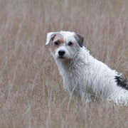 Hunter de Parson Russell Terrier in het hoge gras