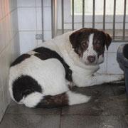 Boci, Rüde, 6 Jahre, ausgedient und in die Tötung abgeschoben