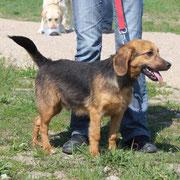 Frodo, Rüde, 2 Jahre, Fundhund, süßer und lustiger Hundebub