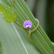 ツルマメの花