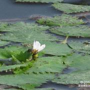コオニビシ花