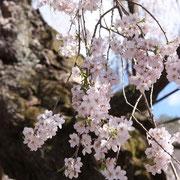 ひだ清見の風景 西光寺の枝垂れ桜