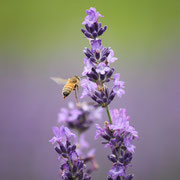 ひだ清見の風景 ラベンダー ミツバチ