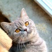 D'Jermain, femelle bleue-crème mackerel tabby, porteuse de longhair, fille d'Artémis