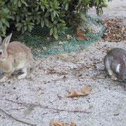 島には「野ウサギ」がいっぱいいて、「ウサギ島」とも呼ばれている。