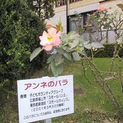 記念館脇の「アンネのバラ」