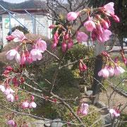 (4月)桜