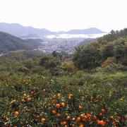 小豆島の「みかん畑」