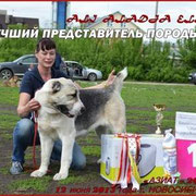 """2 года Монопородная в-ка """"АЗИАТ- 2013"""" Лучший Представитель Породы Победитель Клуба"""
