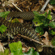 La Couleuvre verte et jaune – Hierophis viridiflavus