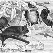 Le Murin de Daubenton – Myotis daubentoni