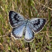 L'Azuré du serpolet – Maculinea arion