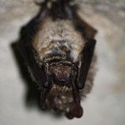 Le Vespertilion à oreilles échancrées – Myotis emarginatus
