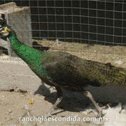 Pava Verde Esmeralda 1 año
